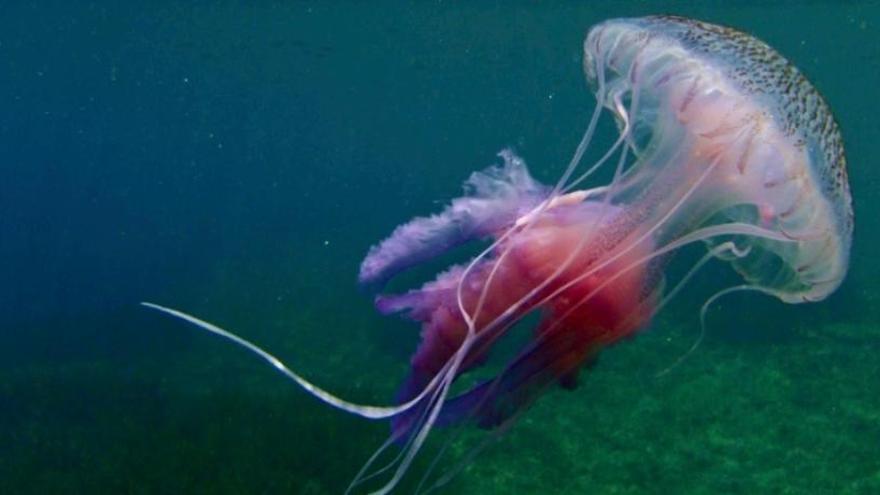 Alerta, medusas