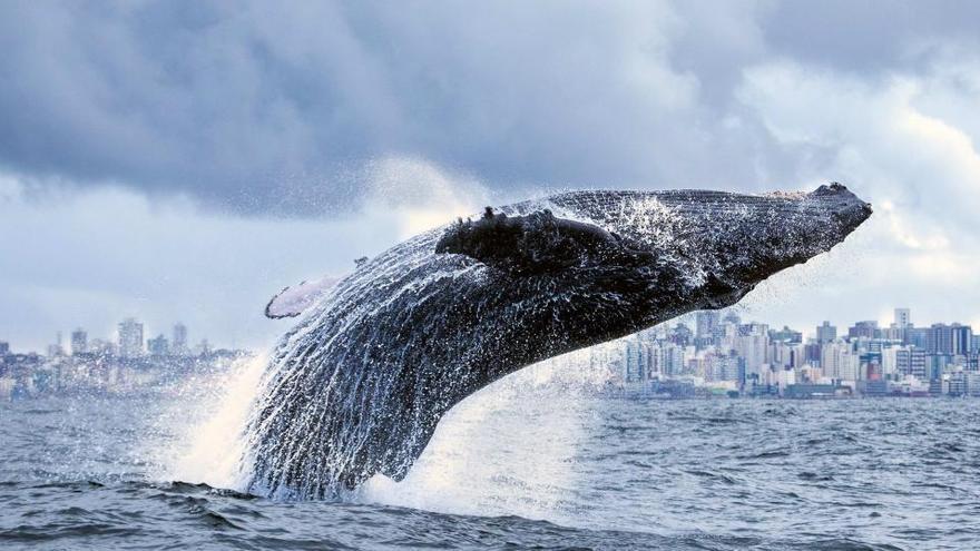 Una ballena de Cuvier rompe récords con una inmersión de casi cuatro horas