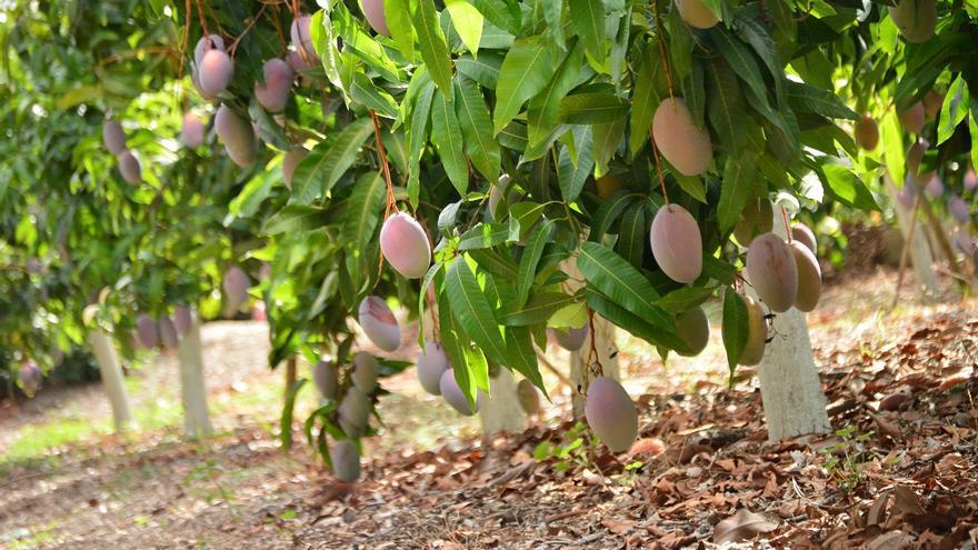 Mercadona comprará 2.800 toneladas de mango a proveedores de Málaga
