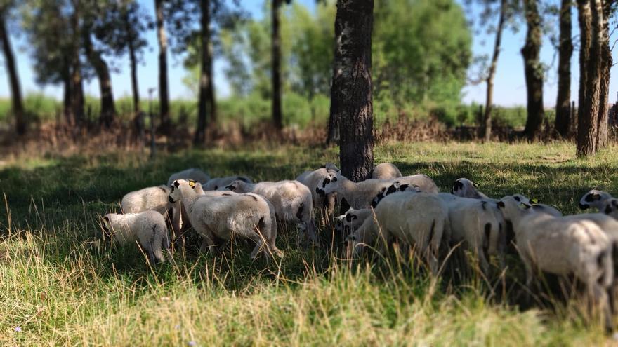 Ovejas de raza churra se incorporan a la Finca Experimental de Madridanos