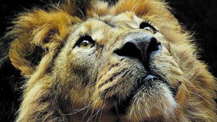 Cuatro leones de Barcelona dan positivo en covid