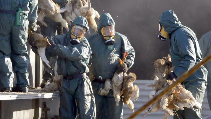 Francia extiende a 100 municipios el sacrificio de aves por la gripe aviar
