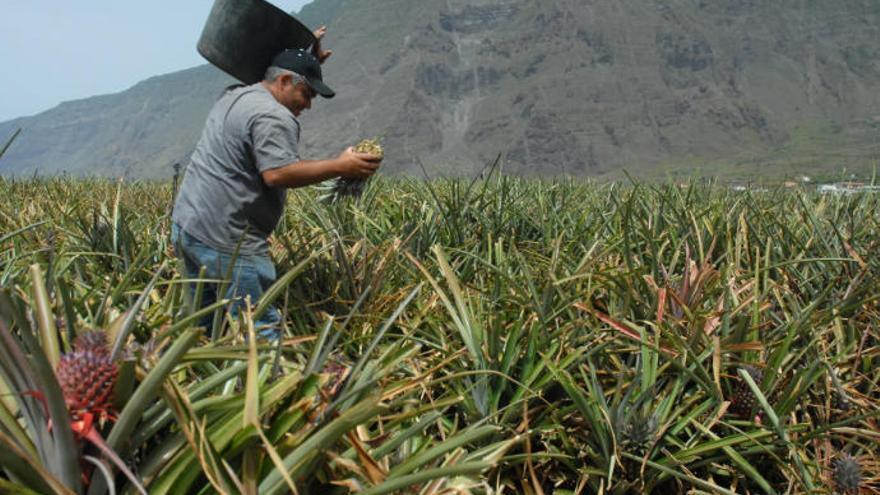 Cabildo herreño pide incluir a todos los productores en ayudas piña tropical