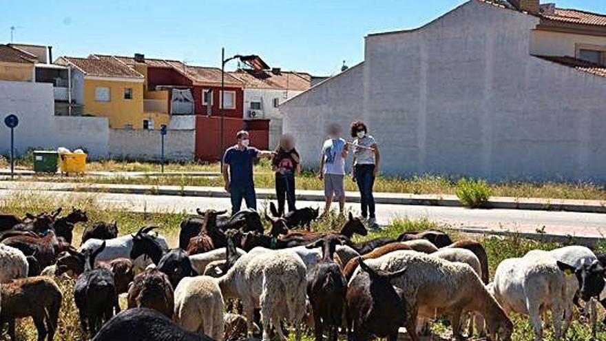 Un rebaño de cabras para limpiar solares