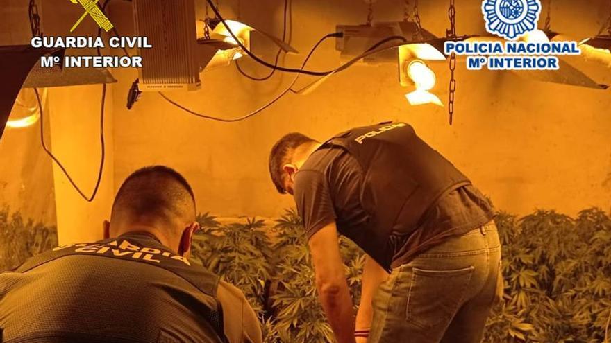 Tres detenidos con cien plantas de marihuana en San Fulgencio