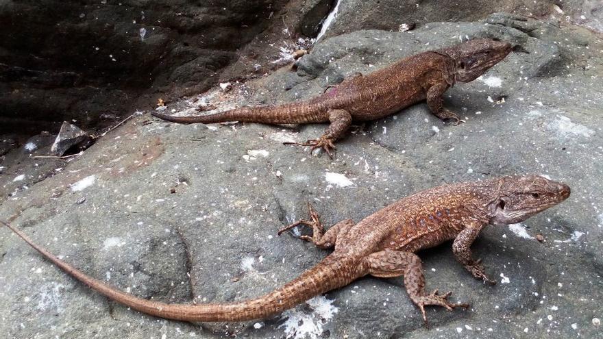 El lagarto gigante extinto de Tenerife pudo haber llegado a El Hierro
