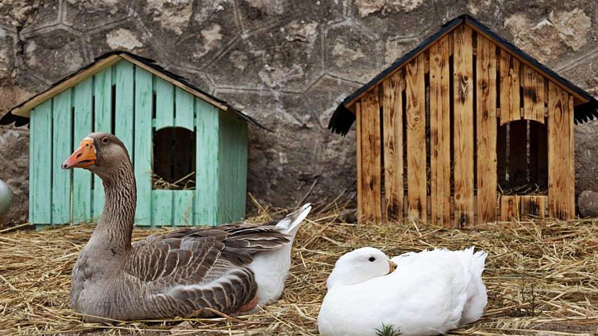 Dos patos con sus casetas nuevas hechas por los vecinos