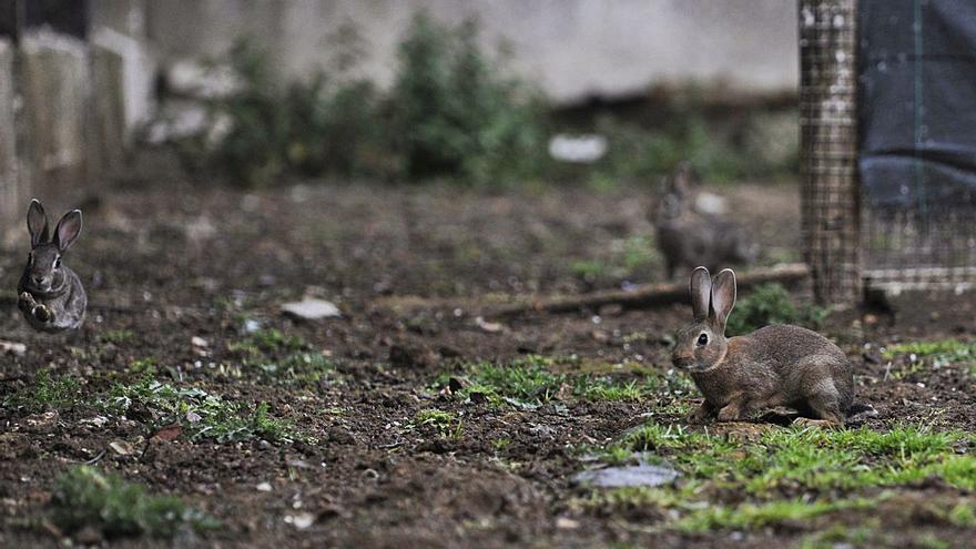 Arranca la repoblación de conejo sin retrasos en las entregas por la pandemia
