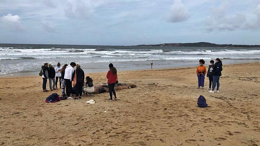 Cadáver de un calderón mordido por tiburones en A Lanzada