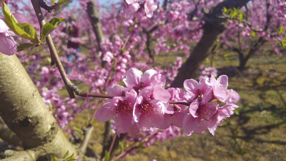 Florits. Aquests dies fa goig sortir a fer un volt. Aquí veiem un petita mostra de la meravella que gaudim a Aitona aquests dies, amb els fruiters florits. És preciós!