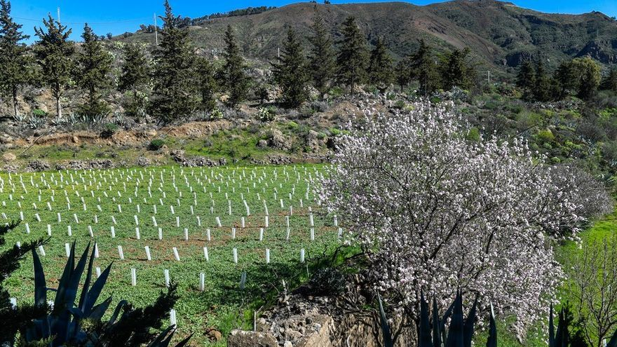 Almendros en flor en la Cumbre de Gran Canaria