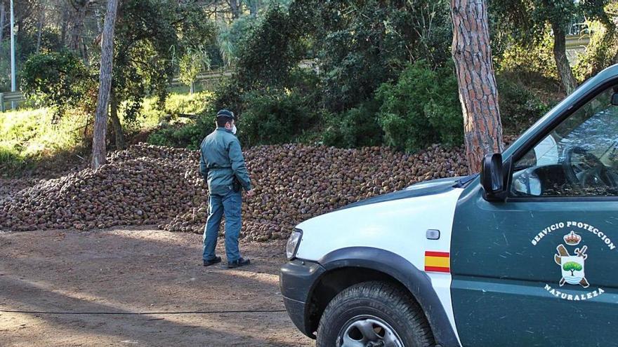 Comissen 36,5 tones de pinyes a Santa Cristina i denuncien dos homes