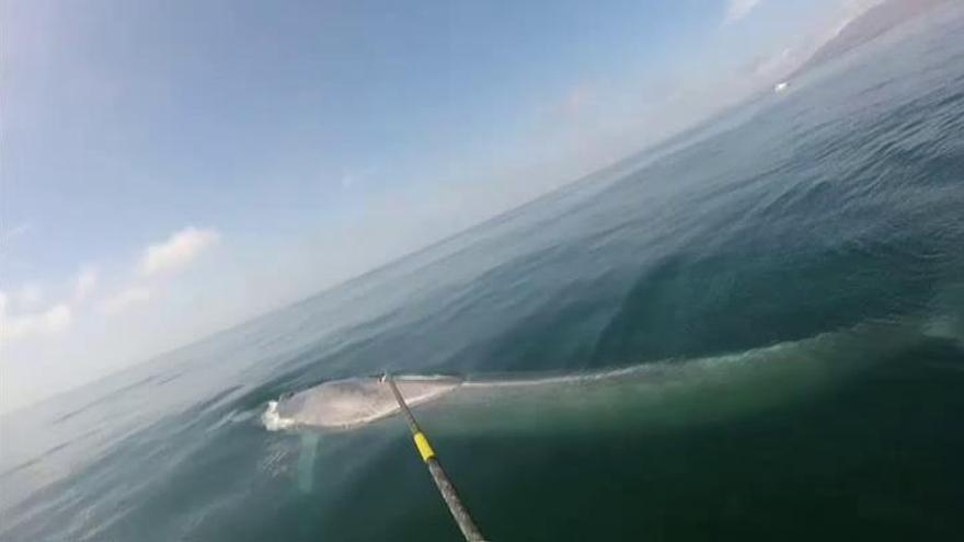 Graban por primera vez el latido del corazón de una ballena azul
