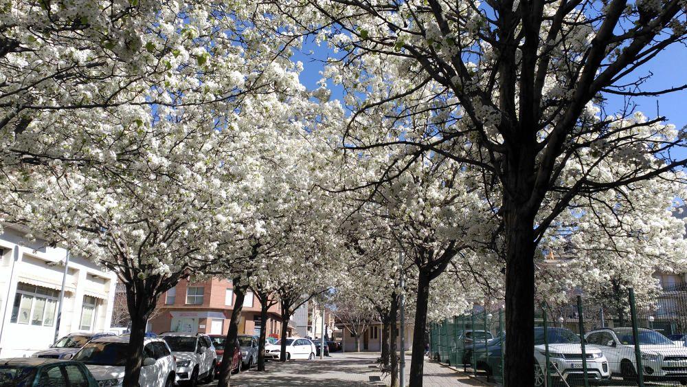 Primavera. Amb l'arribada de les bona temperatura, molts arbres ja comencen fer el seu procés de florir gràcies a la nova estació, la primavera. Ja fa dies que podem veure els arbres ven florits.