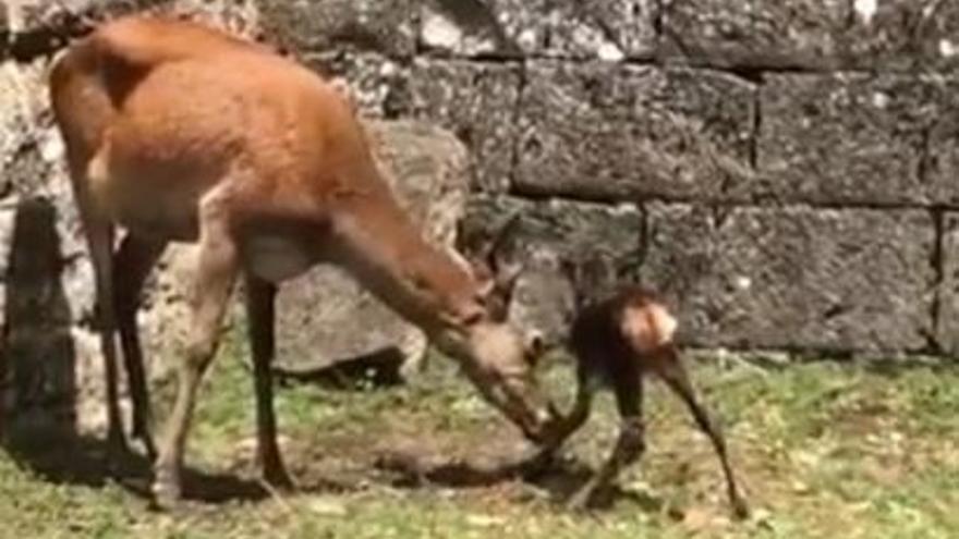 Nacen dos cervatillos en la ciudadela de Jaca