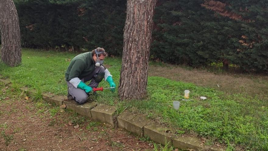 Villanueva de Azoague previene la proliferación de la procesionaria en los pinos de la localidad