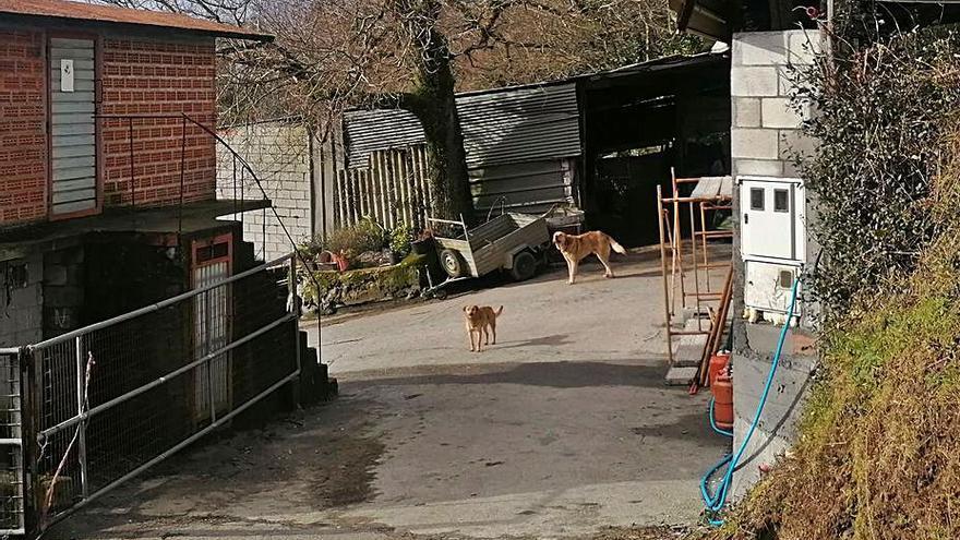 Herida de gravedad en los brazos una vecina de Trasanquelos tras ser atacada por un perro