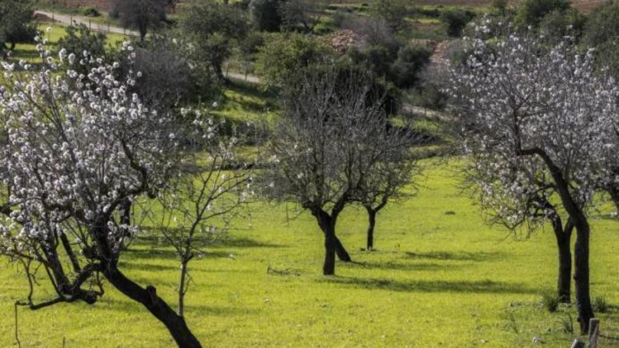 Bauern fordern Gelder aus der Touristensteuer, um neue Mandelbäume zu pflanzen