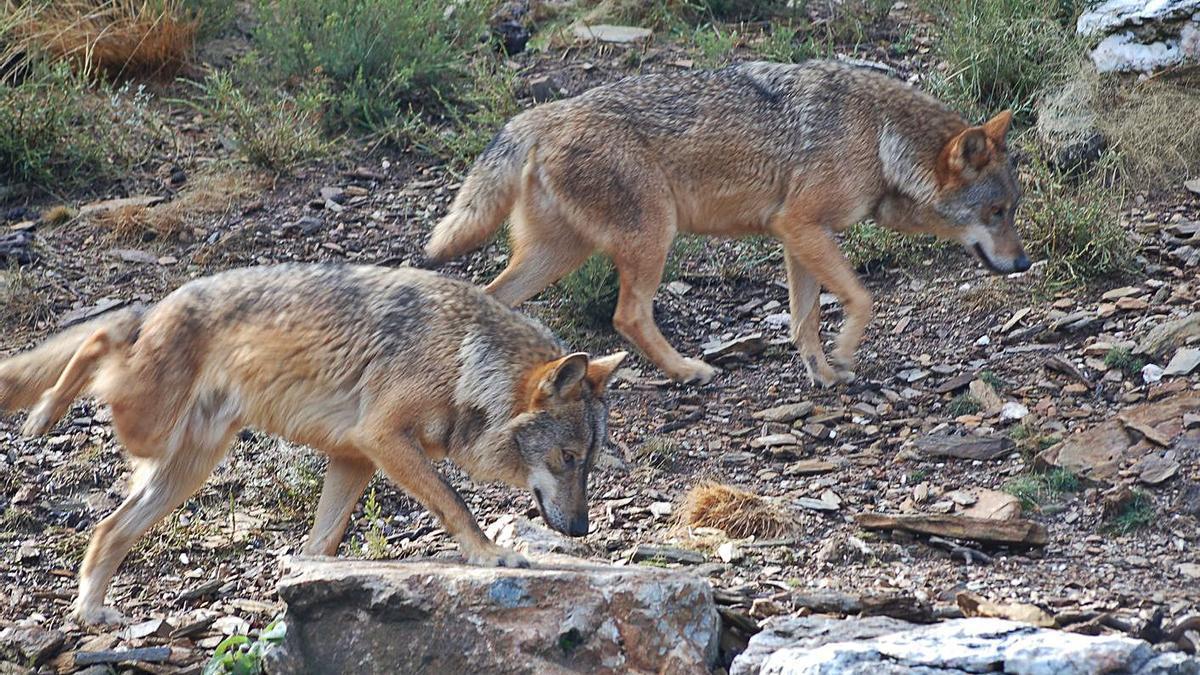 Dos lobos en cautividad