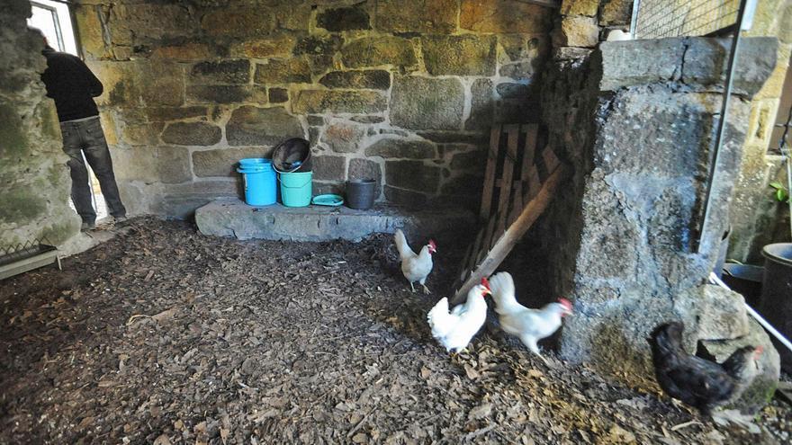 El censo de corrales y gallineros fracasa en Arousa pese a la alerta de gripe aviar