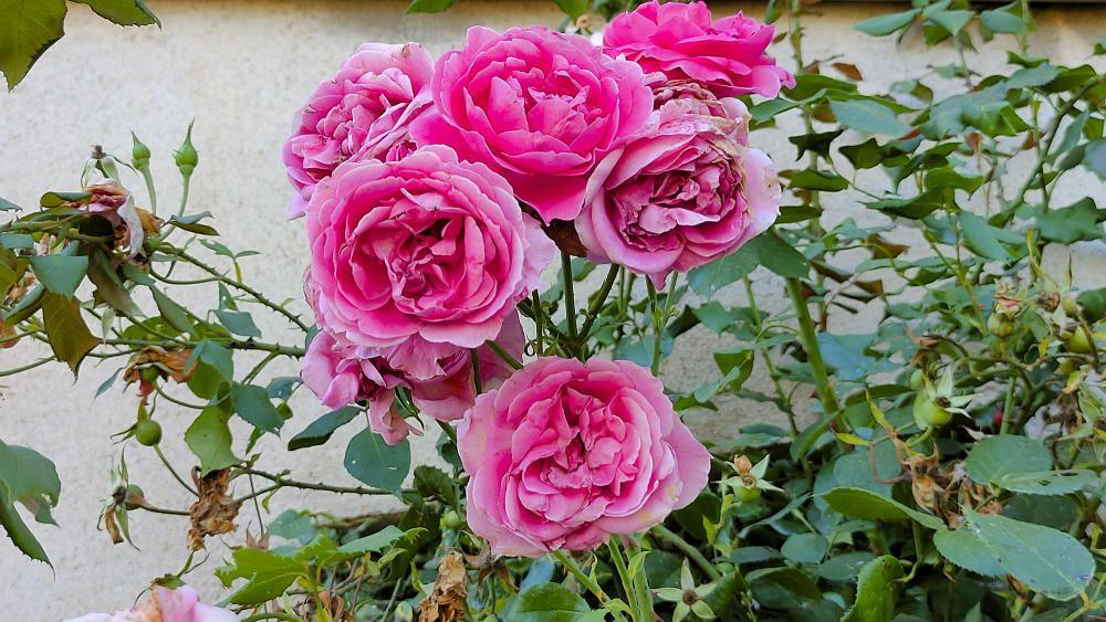 Roses pel Sant Jordi d'estiu.
