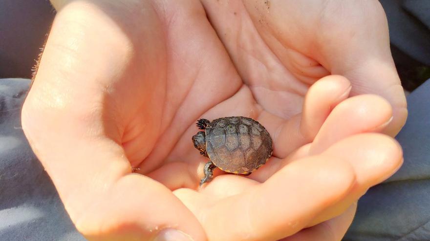 Neixen les primeres cries de tortuga d'estany en llibertat al Ter