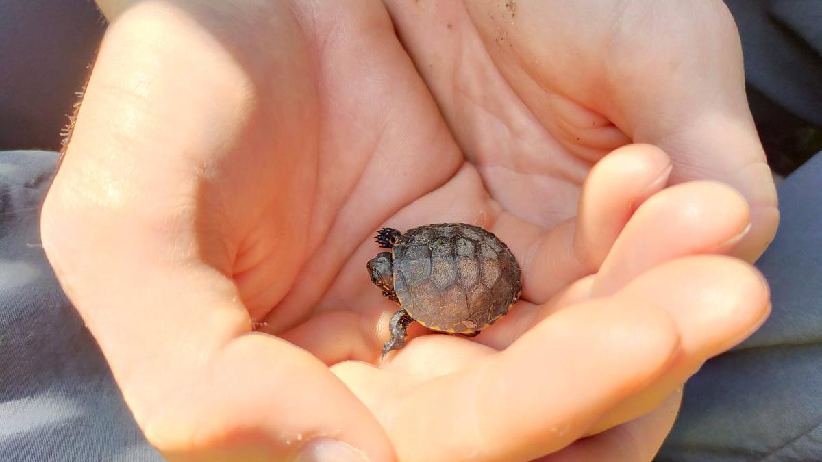 Una de les tortugues nascudes al riu Ter.