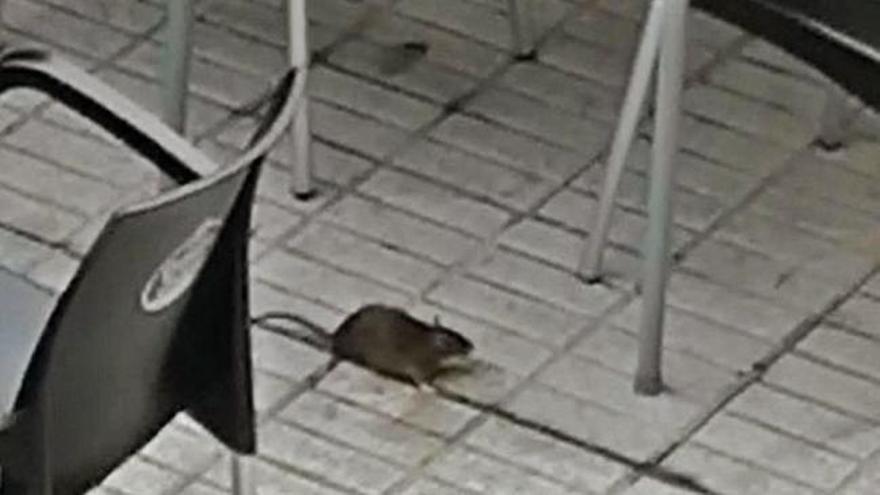Las ratas se apuntan al 'terraceo' en Moaña