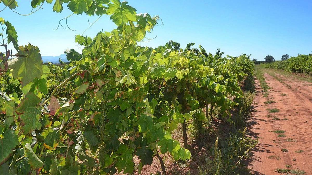Una vinya al Bages