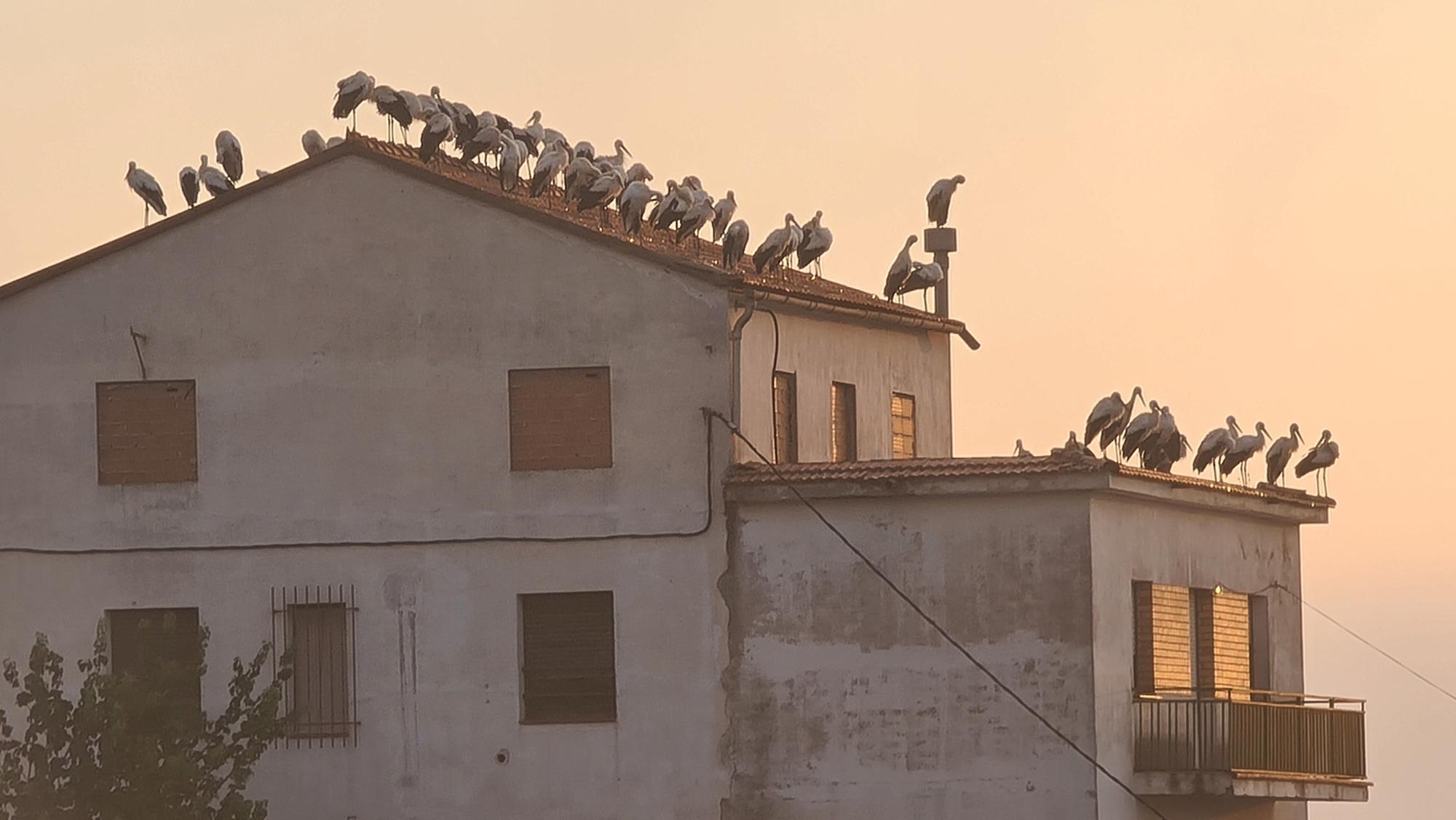 Desenes de cigonyes fan nit a Cardona
