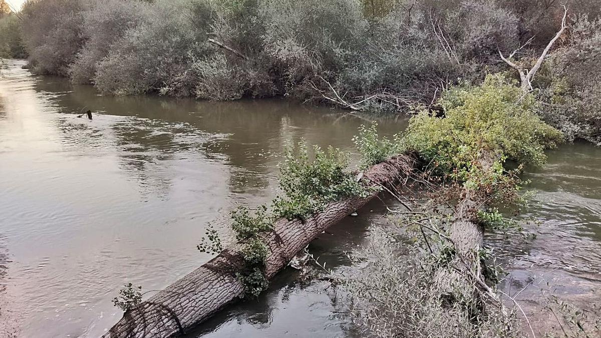 Don troncos de árboles caídos sobre el cauce del río Órbigo a su paso por Vecilla de la Polvorosa.| J. A. G.