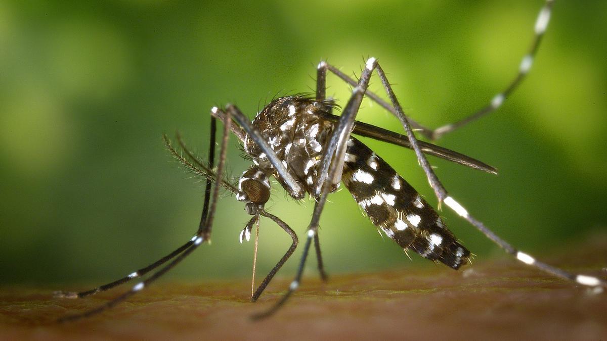 Así es visualmente el mosquito tigre.