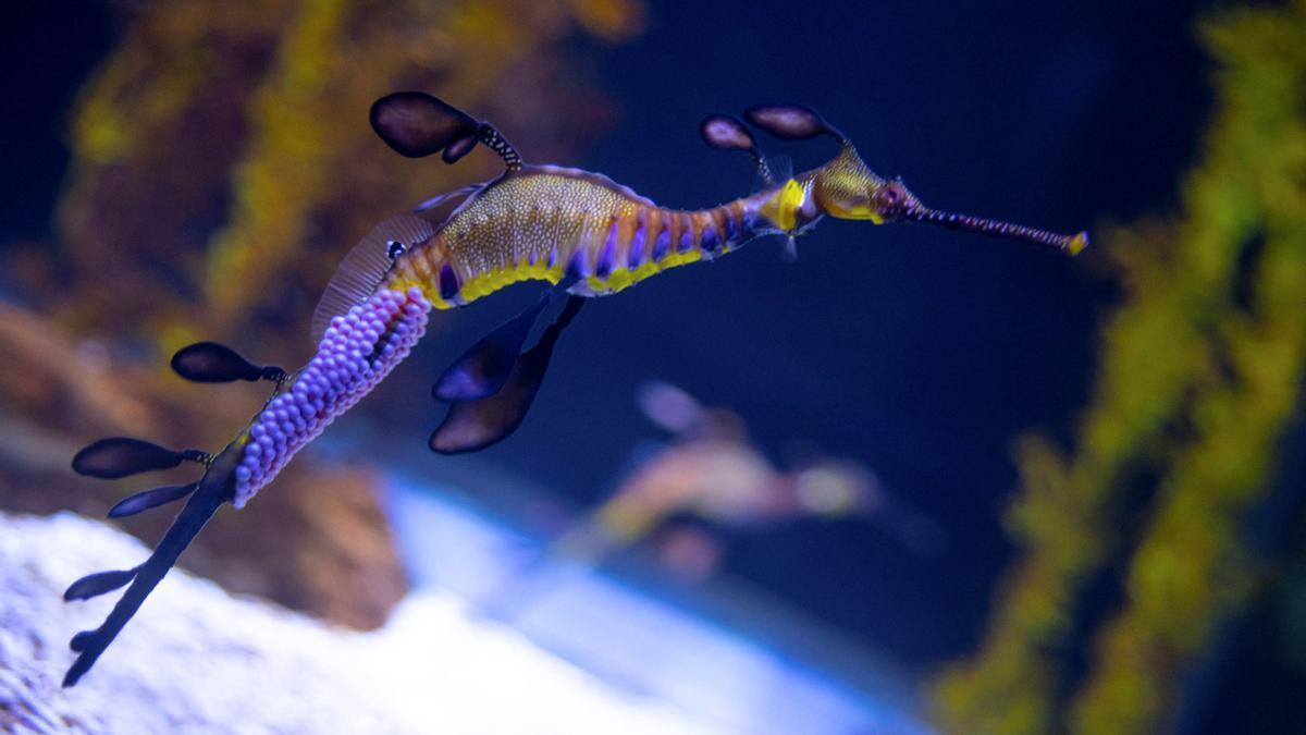 Nacen 24 dragones de mar en el acuario de Las Palmas de Gran Canaria
