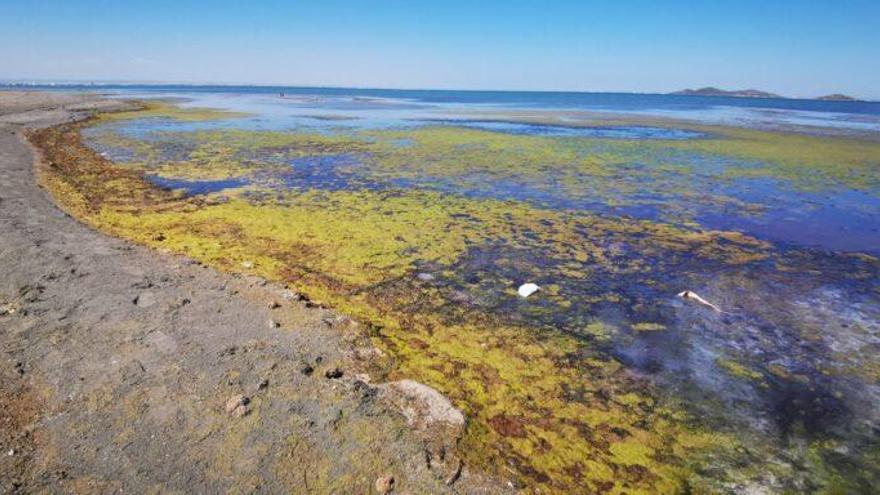 Especies bajo amenaza de muerte en el Mar Menor