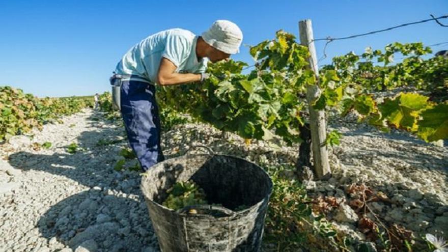 Pontevedra busca vendimiadores para los meses de agosto y septiembre