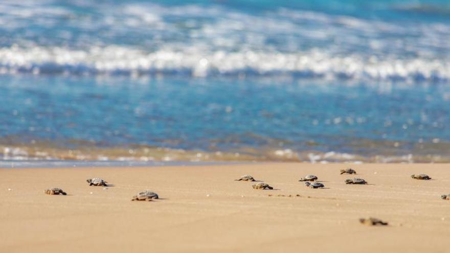 Las tortugas bobas nacidas en Cullera alcanzan el mar