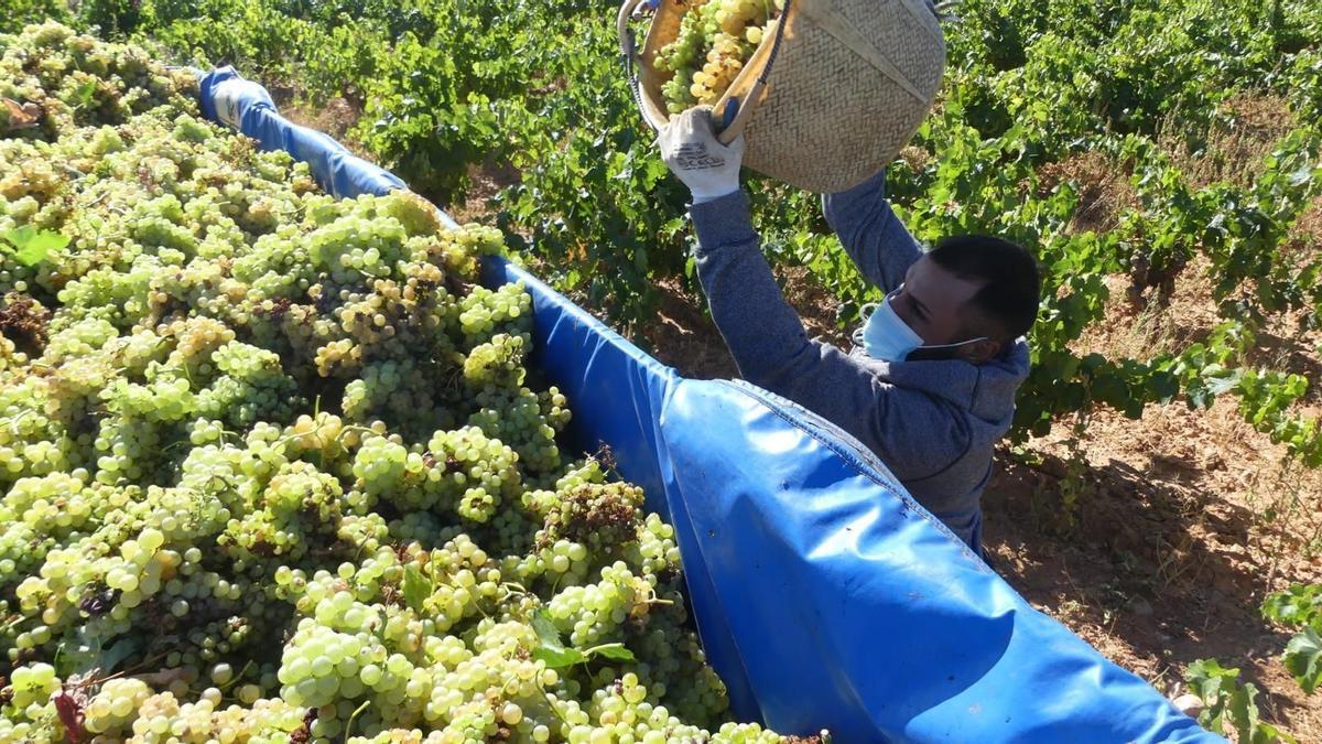 Una vendimiador de la DO Cariñena deposita un cesto lleno de uvas en un remolque.