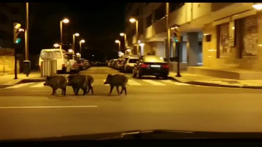 Los jabalíes invaden Gijón: de la plaza de toros al Piles