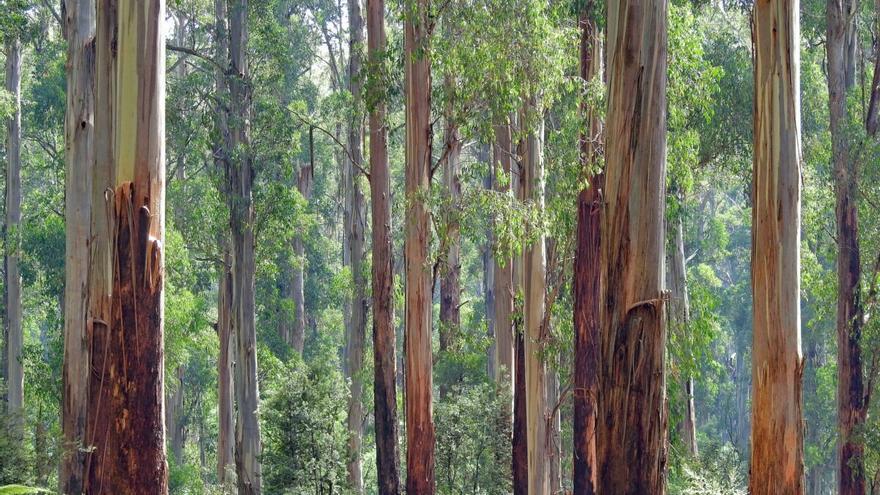 ¿Ayudan los árboles invasores a mitigar el cambio climático?