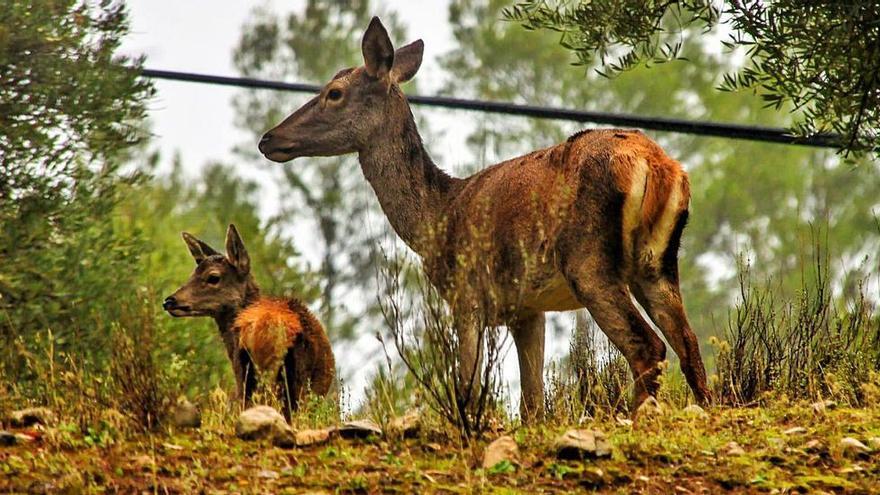 Ciervos, muflones y arruís, en riesgo por la caza sin control