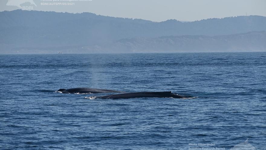 Nuevo récord en Galicia: 46 ballenas alimentándose juntas