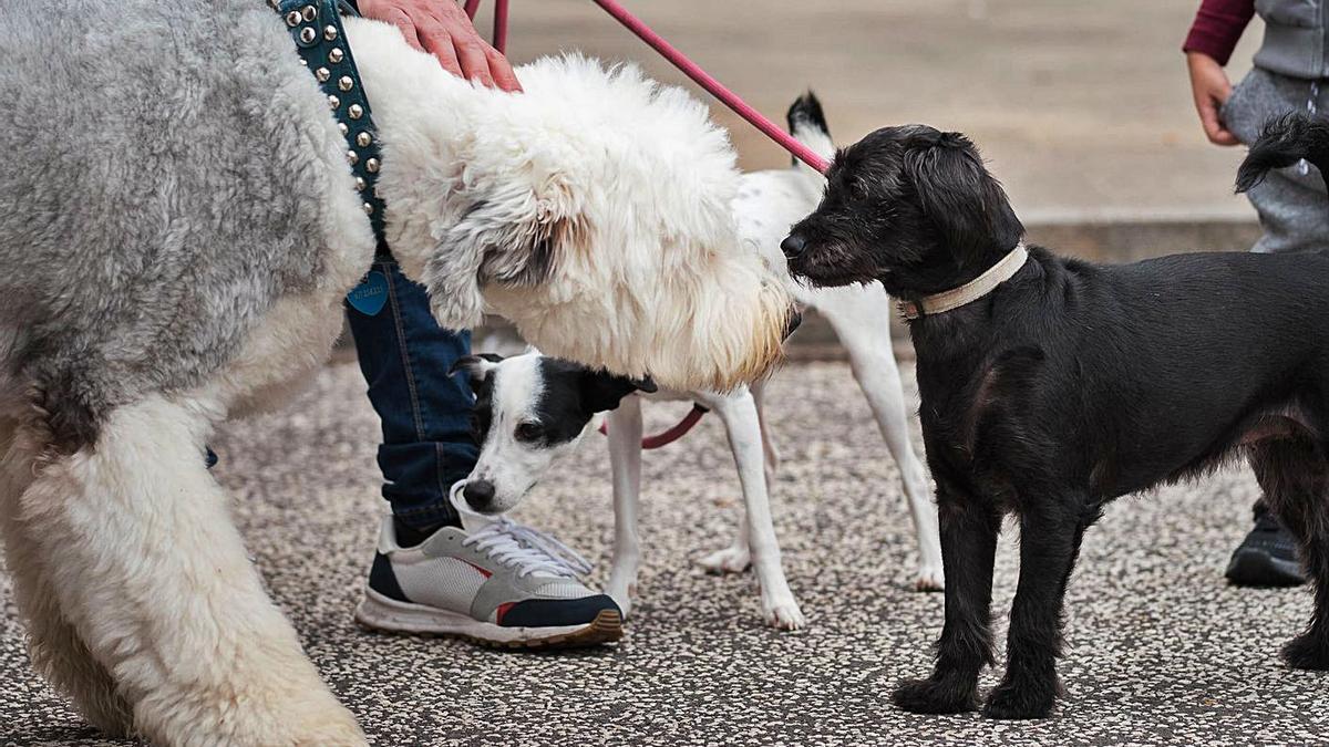 Unos perros en la primera edición de la Feria de adopción de mascotas de La Laguna. | | CARSTEN W. LAURITSEN