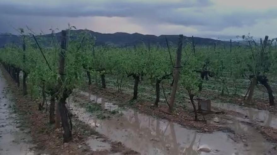 La tormenta caída sobre el Alto y Medio Vinalopó destroza esta plantación de uva de mesa de La Romana