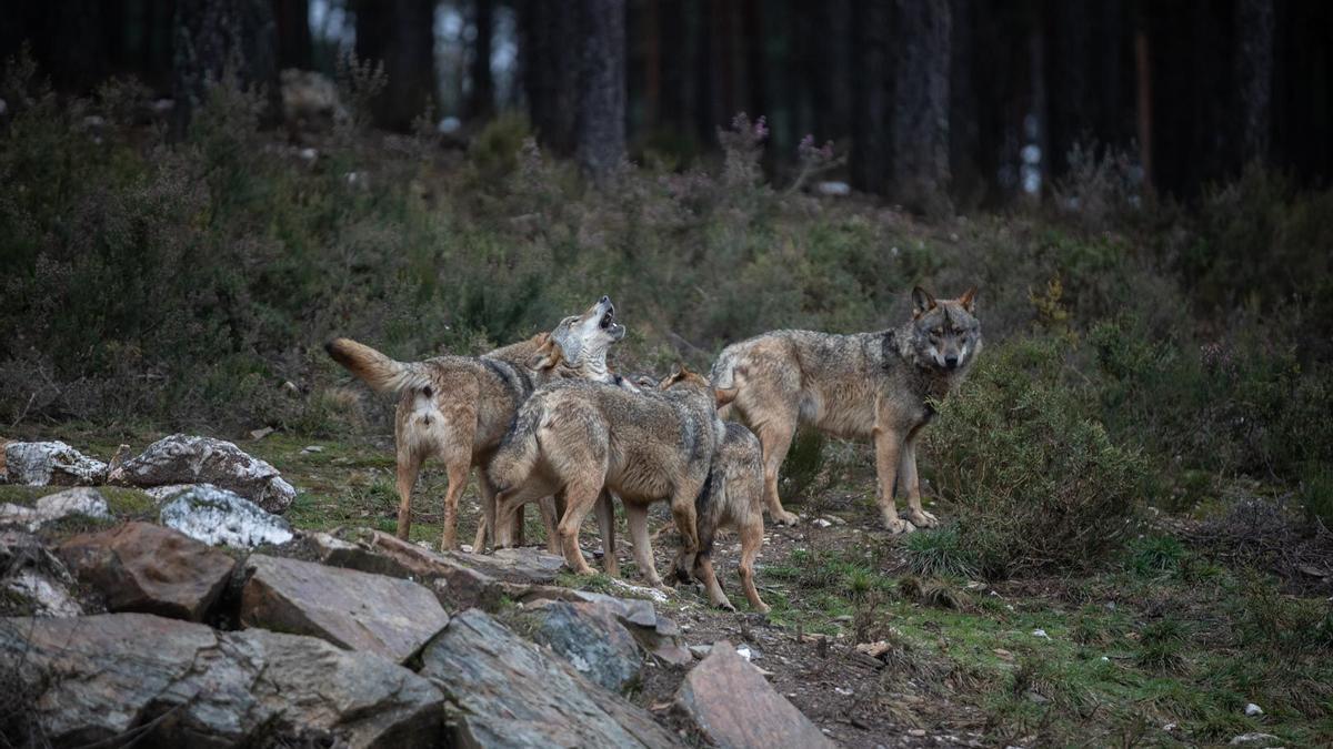 Una manada de lobos en el centro ubicado en la localidad zamorana de Robledo