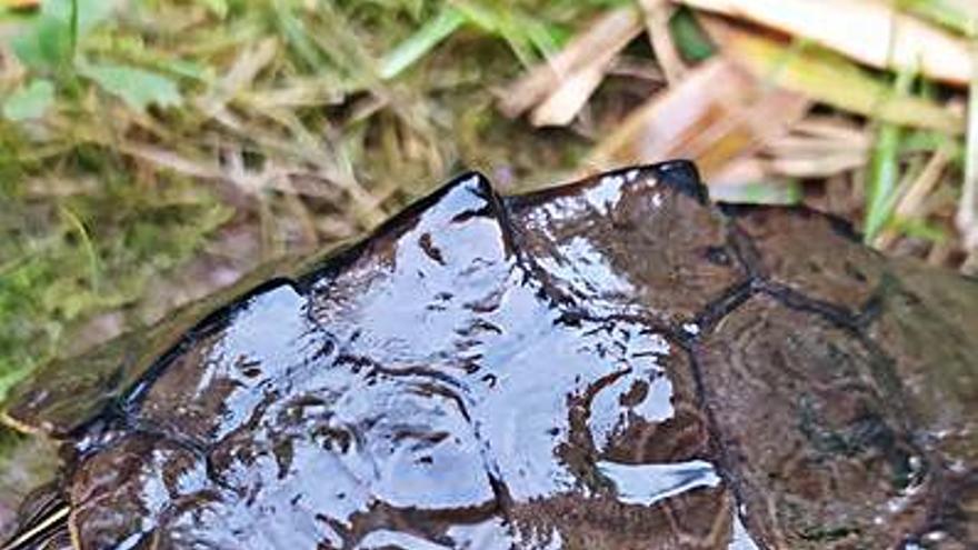 Encuentran una tortuga exótica del Mississipi en el río Miño