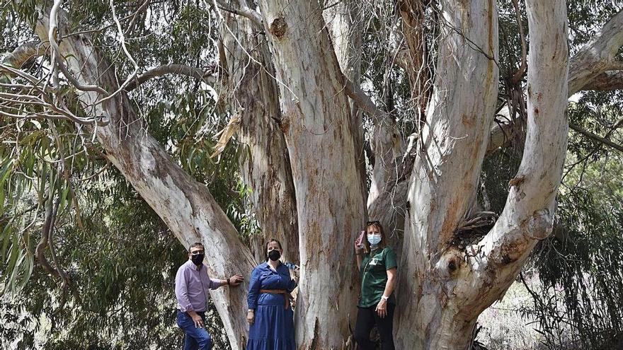 Los eucaliptos rojos de Tecén y el drago de Luis Verde ya son árboles singulares