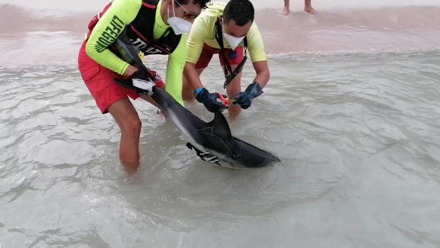 Liberan a una cría de delfín en la Platja de Muro
