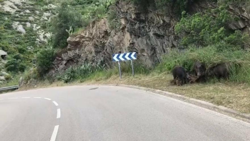 Cadaqués alerta de l'elevada presència de porcs senglars