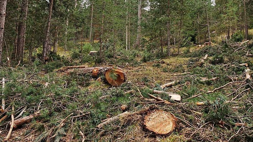 El Grup de Defensa de la Natura denuncia una tala en un espai del gall fer