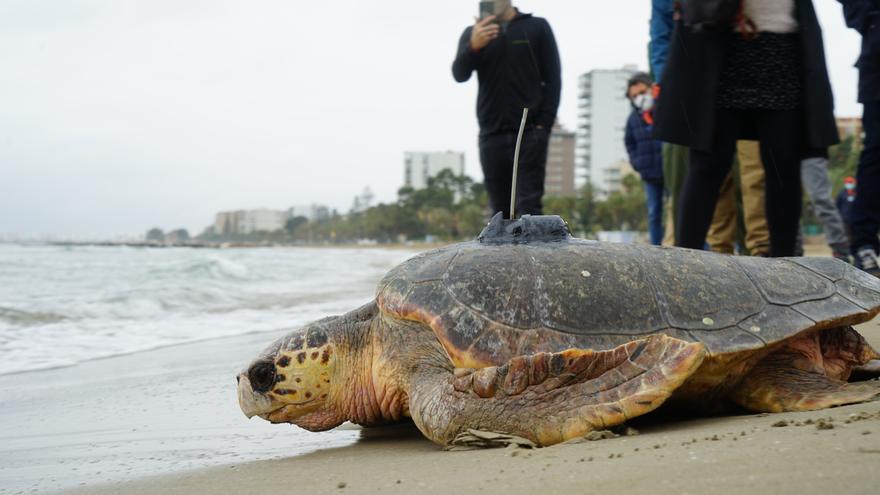 GALERÍA | Así liberan tres tortugas en la playa del Voramar